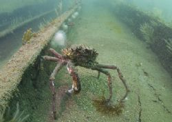 Spider crab on the James Eagan Layne.